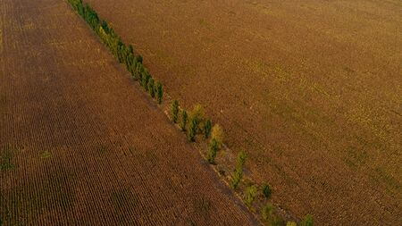 A beautiful line of trees in the middle of a golden wheat field. 写真素材