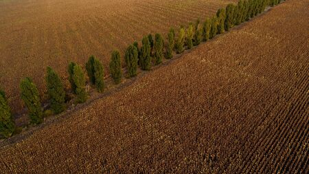 A golden wheat field and a line of trees, shot from above.