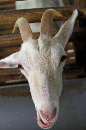 pulau: Goat Farm At Balik Pulau Sungai Pinang.