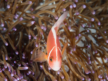 pink anemonefish: Top view of Pink Anemonefish