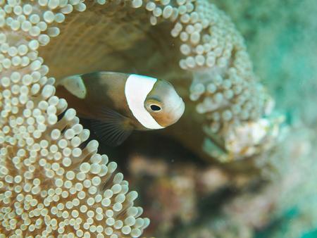 Underwater, Yellow Clownfish close-up Stock Photo