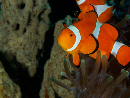 color conceal: Amphiprion Ocellaris Clownfish In Marine Stock Photo