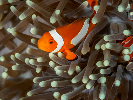 Amphiprion Ocellaris Clownfish In Marine Stock Photo