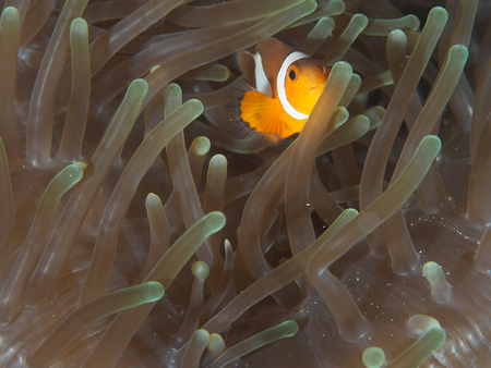 amphiprion: Amphiprion Ocellaris Clownfish In Marine Stock Photo