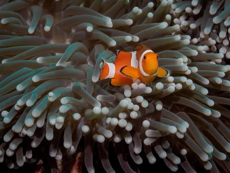 percula: Clown anemone fish(Nemo) in anemone - Anilao Philippines