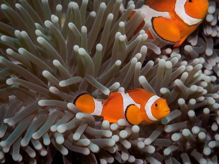 Clown anemone fish(Nemo) in anemone - Anilao Philippines