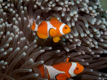 false percula: Clown anemone fish(Nemo) in anemone - Anilao Philippines
