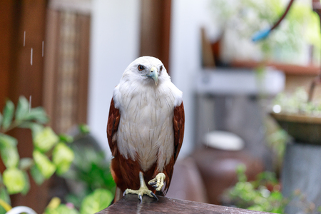eagle on the table, Philippines