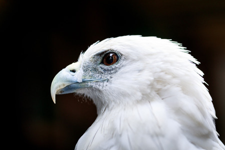 Bald eagle face - close up Stock Photo