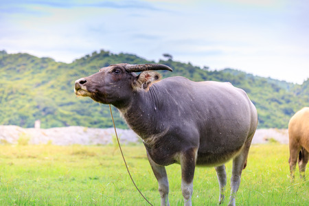 muddy: Carabao or Water Buffalo, Philippines