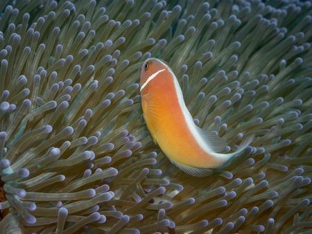 Pink anemone fish at underwater