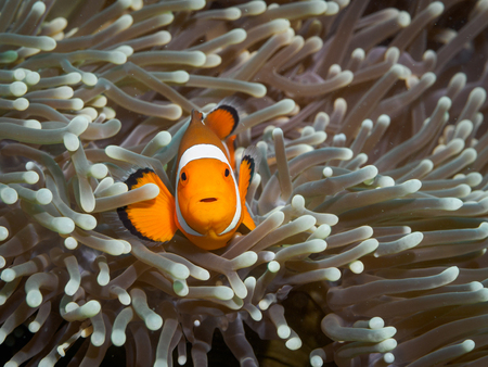 Clown anemonefish at underwater