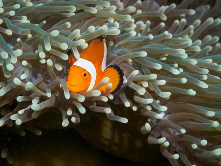 Clown anemonefish at underwater