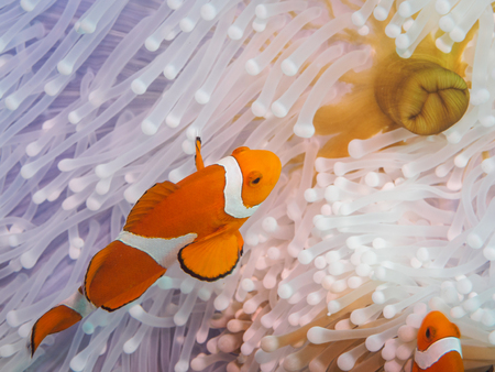 amphiprion: Clown anemonefish at underwater