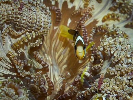 Clown fish at underwater, Philippines Stock Photo