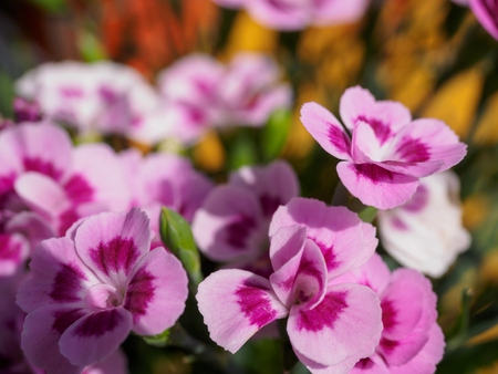 Pink pansy flowers with blur background in the garden stock photo pink pansy flowers with blur background in the garden stock photo 99710606 mightylinksfo