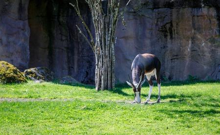 African Bontebok, Africa savanna district at Oregon Zoo