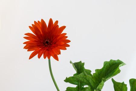 orenge: the orange flower with green leaf Stock Photo