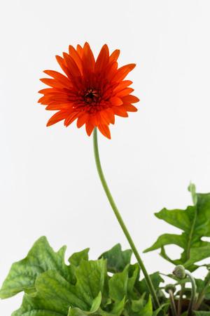 orenge: the orange flower with green leaf Stock Photo