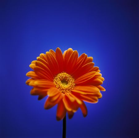 Single orange colored Gerber Daisy, shot on blue high key background. Imagens