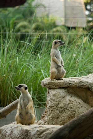 herpestidae: Meerkat or Suricate (suricata suricatta) , zoo asia Stock Photo