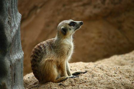 mammalia: Meerkat or Suricate (suricata suricatta) , zoo asia Stock Photo