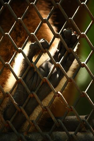foot of gibbon in cage waiting for freedom Stock Photo - 4715112