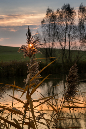 Idyllic autumn scene - late sunlight shining though delicate reed at bank of the pond in rural environment