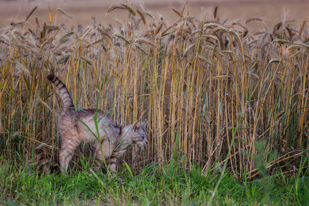 Vigilant cat with arched spine hunting mice at wheat field in summer evening Imagens