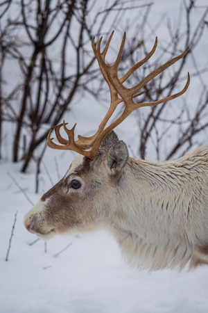 Side view of reindeers head. Close up to head and antlers