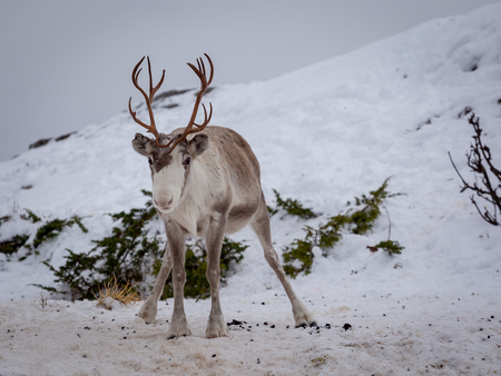 Young reindeer close up. Sweet animal with small antlers