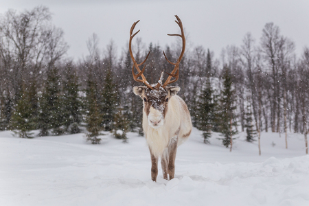 Reindeer in snow. Beautiful animal looking forward Stock Photo - 124377959