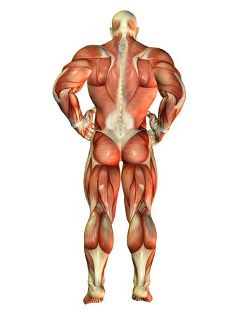 3D Rendering Muscle Body Builder view back Stock Photo