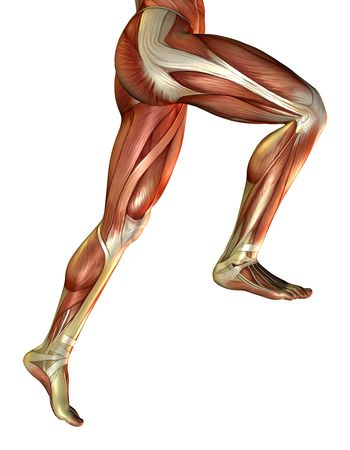 anatomy muscles: 3D rendering of the male leg muscles