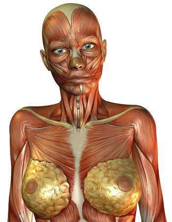 female nipple: Rendering 3D dei muscoli del tronco femmina  Archivio Fotografico
