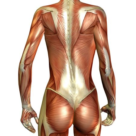 musculo: Render 3D del m�sculo de una espalda femenino
