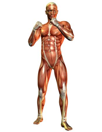 leg muscle fiber: 3D Render of a muscle study of a fighting man