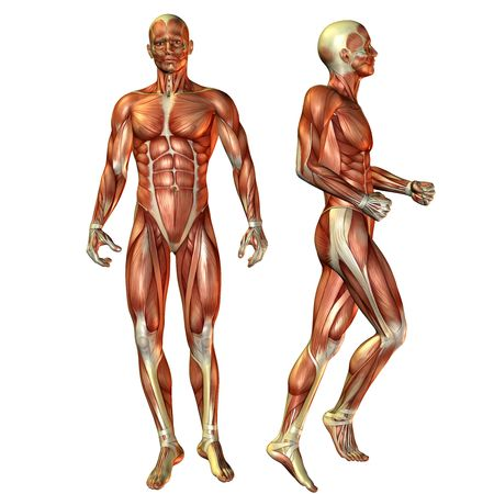 anatomy muscles: 3D render of the male muscle during a standing man