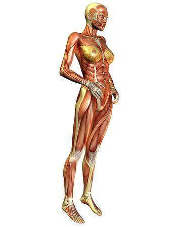 측면에서 여성 근육의 3D 렌더링