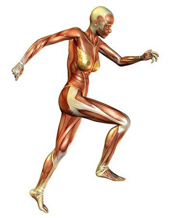 시운전 중 여성 근육의 3D 렌더링 스톡 콘텐츠