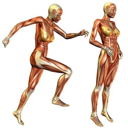 3D rendering of the female muscle Zdjęcie Seryjne
