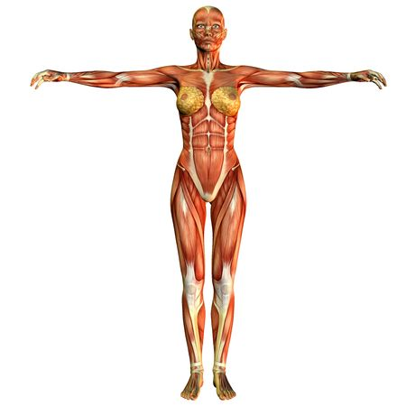 3D rendering of a study of the female body muscular front view Stock Photo - 7999640