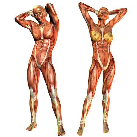 anatomie humaine: Rendu D du cours de muscle mâles et femelles dans une pose de commandes