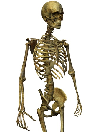 forearm: 3D rendering of a male skeleton torso