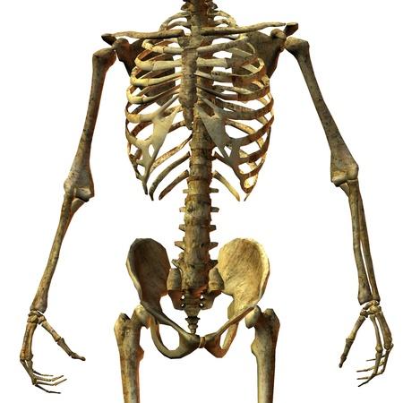 skelett mensch: 3D Rendering der m�nnlichen Knochen Hull