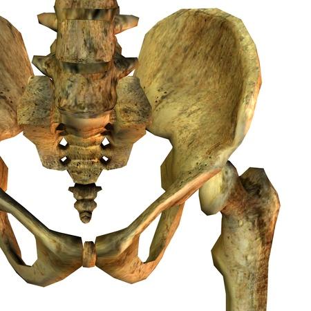 3D rendering detail of human pelvic bone