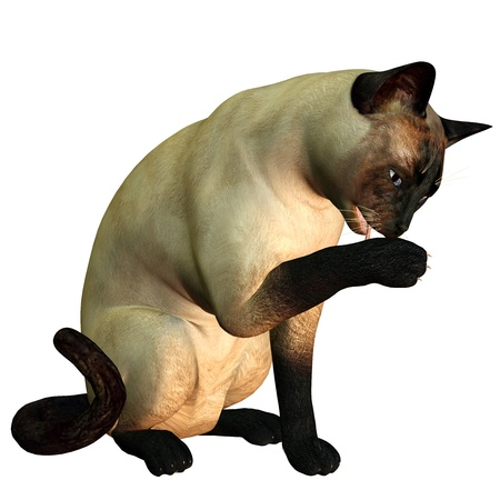 siamese: 3d rendering of a siamese cat who cleans itself as illustration