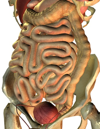 small intestine: 3D Rendering healthy internal organs from man