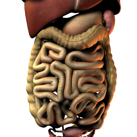 3D Rendering Intestinal internal organ of the woman photo