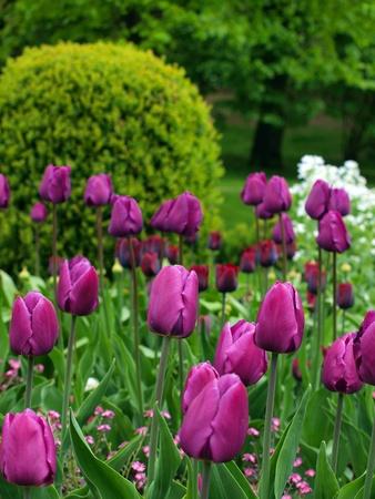 receptivo:  receptivos tulipanes p�rpuras en el Parque